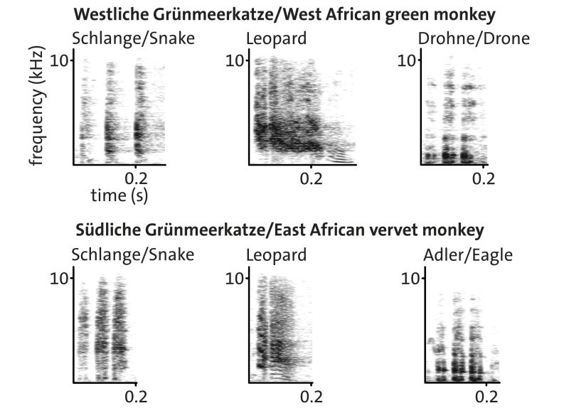 "Spectrograms showing alarm calls that female West African green monkeys (above) and female East African vervet monkeys (below) emit in response to predators. It becomes clear that the ""drone calls"" of West African green monkeys resemble the ""eagle calls"" of East Afrcian vervet monkeys. Picture: Julia Fischer"