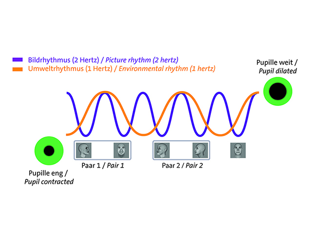 The pupil opens and closes in the rhythm of the incoming light (purple). If there is also a light-independent environmental rhythm (orange), the pupil is also controlled by this more complex rhythm. Figure: Caspar M. Schwiedrzik