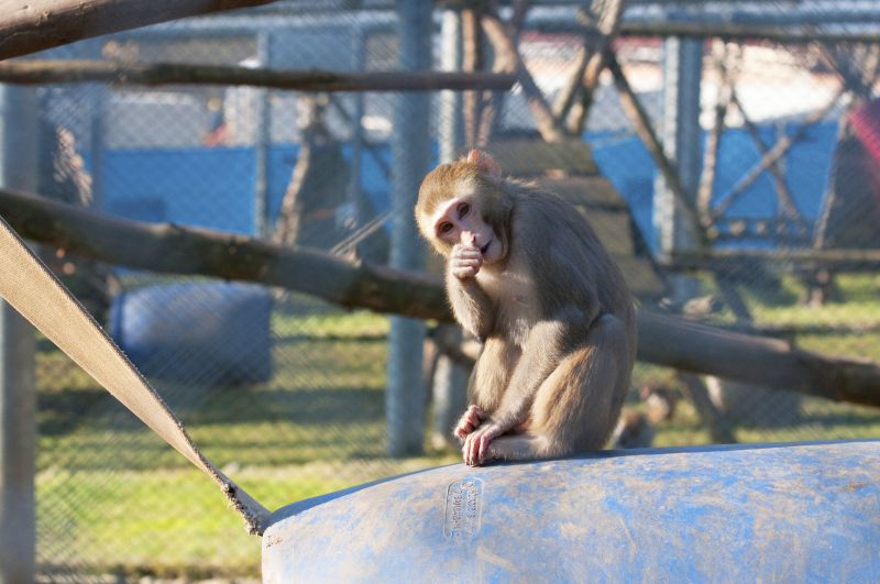 A rhesus macaque at the DPZ primate breeding facility. The animals used for research purposes at the DPZ and other public research facilities in Germany largely originate from the German Primate Center breeding facility. Photo: Säckl