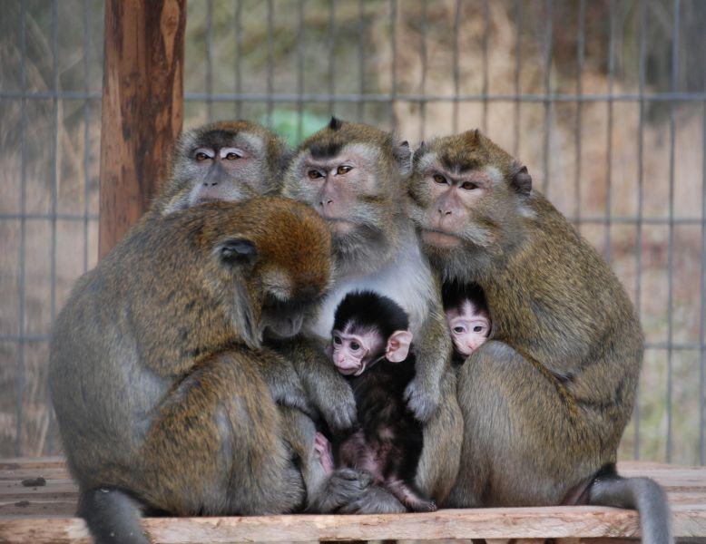 Deutsches Primatenzentrum: Javaneraffe