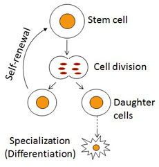 specialised cells in human biology One of the fascinating areas of study about the human body is cell biology cell  biology is the study of the microscopic cells (specialized or.